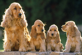 Cocker Spaniel Dogs, Adult and Puppies Sitting in a Row Reproduction photographique