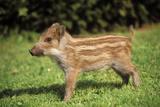 Wildschweine Fotografie-Druck