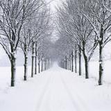 Small-Leaved Lime Trees in Snow Valokuvavedos tekijänä Ake Lindau