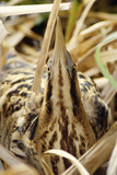 Bittern Close-Up Reproduction photographique