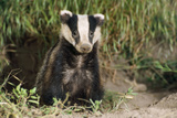 European Badger Young Sitting at Sett Entrance Photographic Print