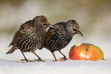 Starling in Snow Eating Apple Reproduction photographique