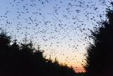 Starlings Going to Roost Reproduction photographique