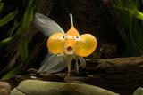 Poissons d'aquarium Reproduction photographique