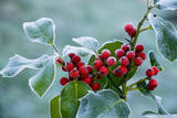 Holly Berries Covered with Hoar Frost Valokuvavedos