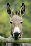 Donkey Looking over Fence Photographic Print