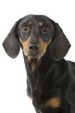 Dachshund, Teckel Smooth-Haired Black and Tan Fotografisk tryk