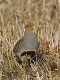 Grey Partridge Male Standing in Winter Stubble Reproduction photographique
