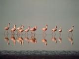 Lesser Flamingo Line of Eleven Fotografisk tryk