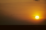 Ibis Flying to Roost at Sunset Reproduction photographique
