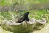 Starling Bathing in Birdbath Reproduction photographique