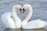 Mute Swan Courtship Display Reproduction photographique