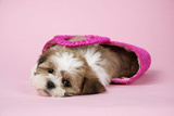 Shih Tzu 10 Week Old Puppy in Shopping Bag Photographic Print