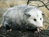 Opossum Walking on Tree Branch Lámina fotográfica