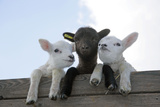 Three Lambs Looking over Fence Fotografisk tryk