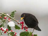 Blackbird Male Feeding on Holly Berries Reproduction photographique