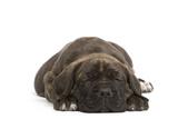 Cane Corso (Italian Guard Dog) Lying Fotografisk tryk