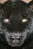 Black Jaguar Fotografie-Druck