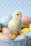 Chicken Chick Sitting on Coloured Eggs Photographic Print
