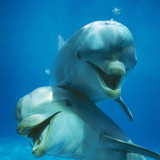 Bottlenose Dolphin Two Facing Camera Premium fototryk af Augusto Leandro Stanzani