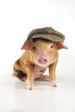 Pig 2 Week Old Oxford Sandy and Black Piglet Fotografie-Druck