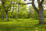 Ancient Flowery Wood Pasture Photographic Print