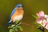 Eastern Bluebird Male Lámina fotográfica