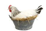Sussex Chicken Sitting on Next in Tin Bucket Fotografisk tryk