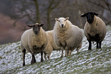 Sheep Mixture of Suffolk and Welsh Mountain Breeds Fotoprint