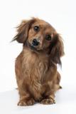 Miniature Long-Haired Dachshund Fotografisk tryk
