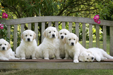 Golden Retriever Puppies on Garden Bench 7 Weeks Photographic Print