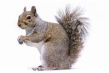 Grey Squirrel Side View Fotografisk tryk
