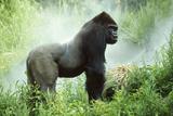 Lowland Gorilla Male Silverback Fotografisk tryk