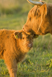 Highland Cattle, Adult with Young Fotografie-Druck