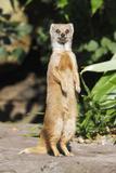 Yellow Mongoose Standing Alert on Back Legs Lámina fotográfica