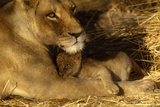 Lioness with 6 Week Old Cub Fotografisk tryk