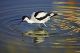 Pied Avocet Feeding in Shallow Water Reproduction photographique