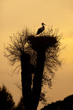 White Stork Single Adult on Nest Silhouetted Reproduction photographique