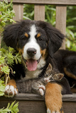 Bernese Mountain Dog Three Month of Puppy Fotoprint