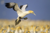 Cape Gannet Landing Amongst Colony Reproduction photographique