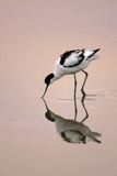 Pied Avocet Feeding at Twighlight on Sea Estuary Reproduction photographique