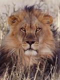 Lion Lámina fotográfica