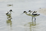 Pied Avocet 3 Adult Birds and 1 Chick Reproduction photographique