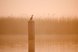 Cormorant on Post in Misty Sunrise with Reedbed Behind Reproduction photographique