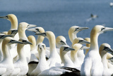 Northern Gannet Colony Reproduction photographique