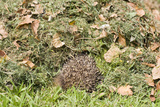 Hedgehog Juvenile Burrowing into Pile of Garden Photographic Print