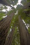 Coastal Redwood Forest, View of Trunks to Canopy Lámina fotográfica
