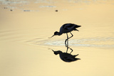 Avocet Feeding in Shallow Lake at Sunset Reproduction photographique