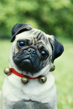 Pug Dog Wearing Collar with Bells Lámina fotográfica