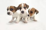 Jack Russel Terrier, Three Puppies Lámina fotográfica